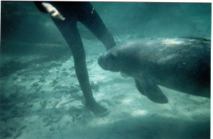 Me with baby manatee in Crystal River